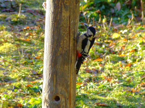 Great spotted woodpecker....dendrocopus major (female)