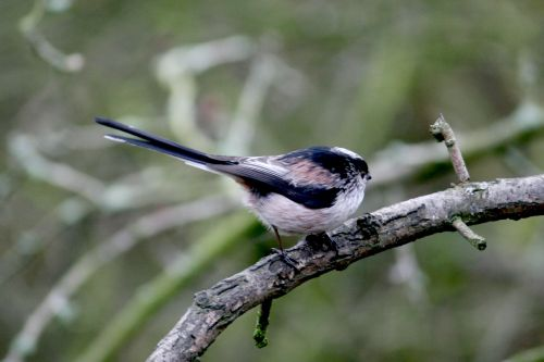 Long Tail Tit in Hawthorn Wood.