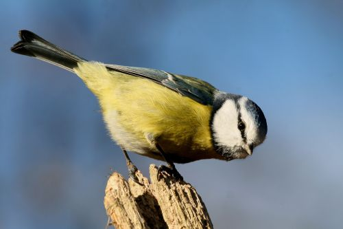 Blue Tit on a Post