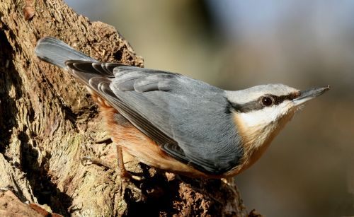 Nuthatch in the Woods