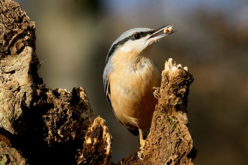 Nuthatch with Seeds