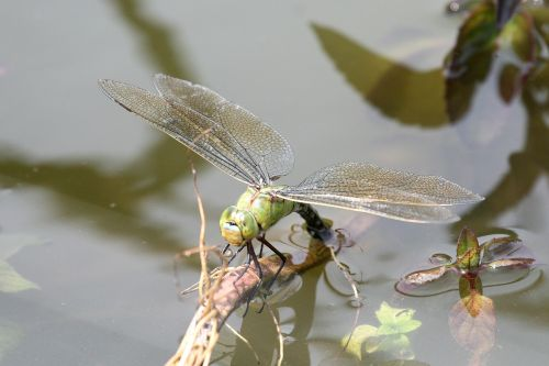 Dragonfly in the New Forest