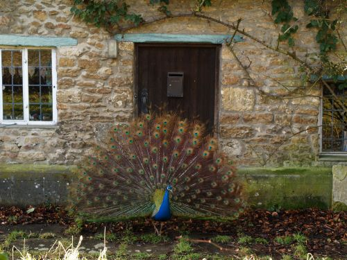 Obliging peacock, Elsfield, near Oxford