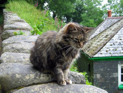 Clovelly Cat
