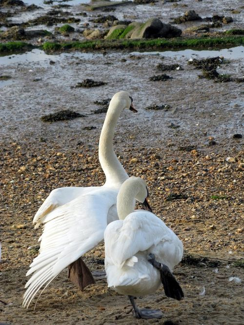 Swans near the River Stour