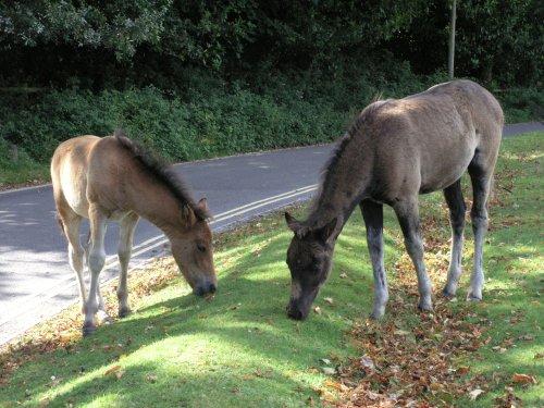 Ponies grazing at Lyndhurst