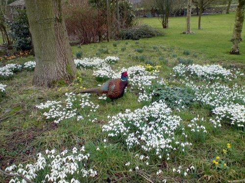 Cock Pheasant at Rowland