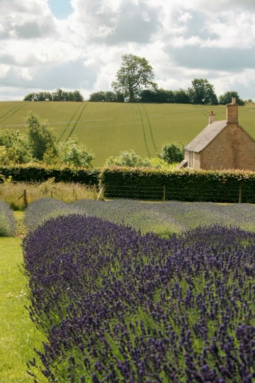 Lavenderfields at Snowshill.