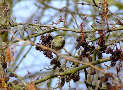 Siskin....carduelis spinus, feeding in the alder tree....alnus glutinosa