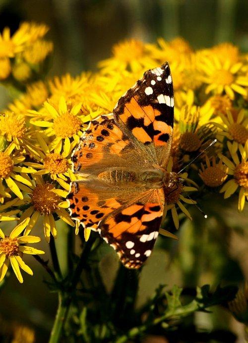 Butterfly on flowers.