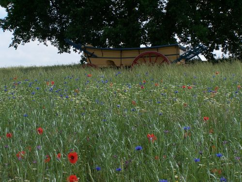 Wild flowers with cart in the background at Hyde Hall