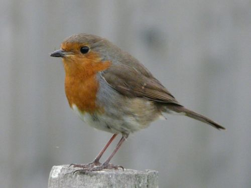 A Robin with a fly in it's beak