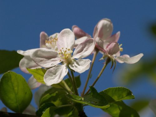 Apple blossom, Steeple Claydon, Bucks