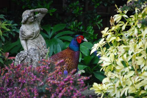 Pheasant in the garden