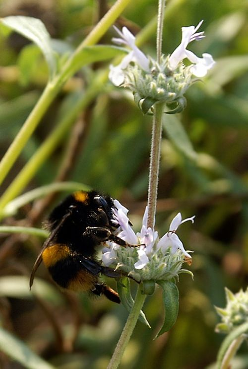 Bee at The Eden Project.