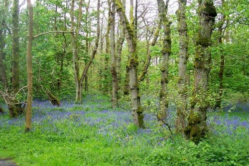 Bluebell wood at Abbeystead