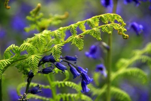 Bluebells close up