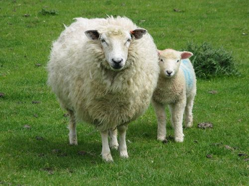 Lamb with his mother