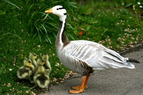 Bar-Headed Goose with chicks.