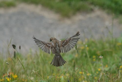 A Whitby Sparrow