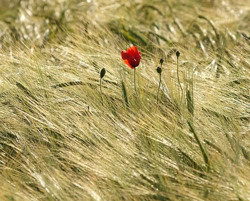 Poppy in Barley, Croughton, Northants.