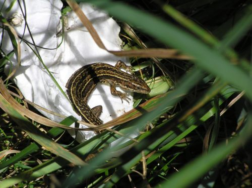 Lizard on a discarded tissue, Zennor cliff