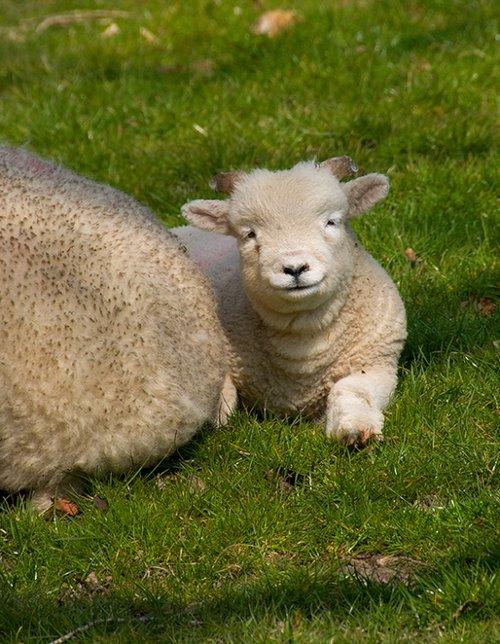 Lambs at Springtime