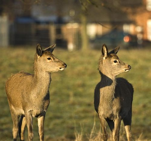 Two young Deer at Wollaton Park