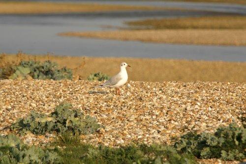 The Gull on patrol