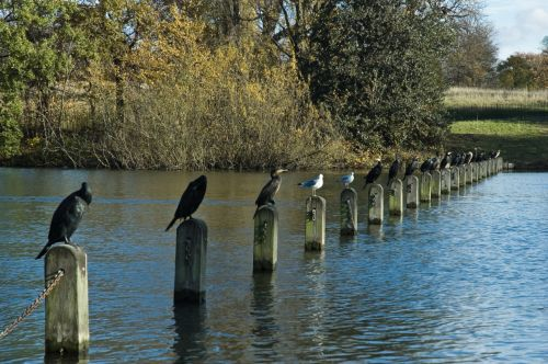 Cormorants in Hyde Park