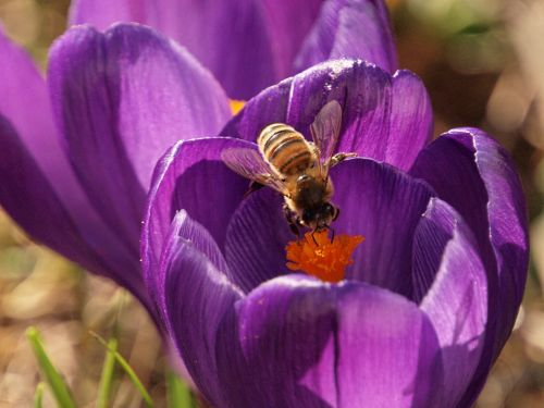 Bee on a crocus in my garden. Steeple Claydon, Bucks