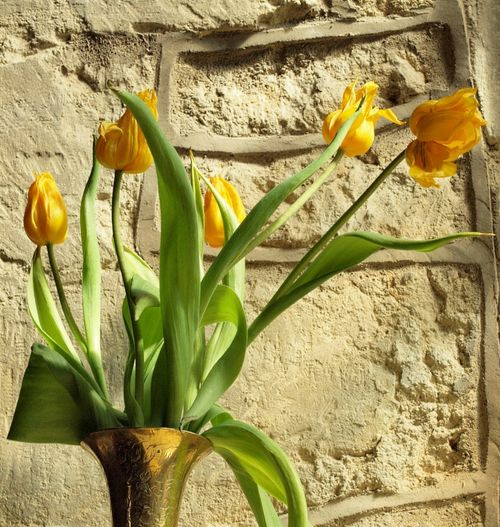 Tulips inside St Nicholas' Church, Little Horwood, Bucks