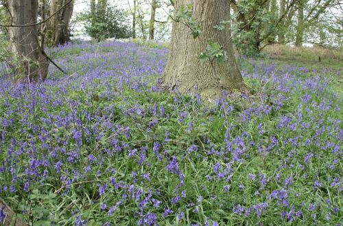 A tour of the Bluebell woods