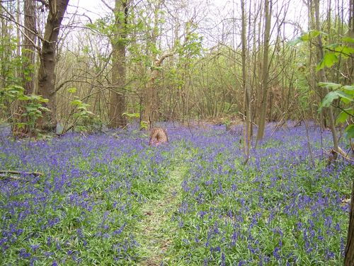 Springtime delight at Norsey Woods