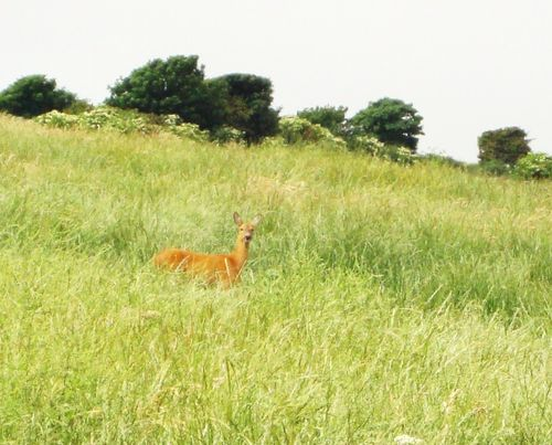 A Deer near Swyre Head, Isle of Purbeck.