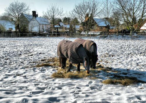 Well cared for Horses in Winter Snow