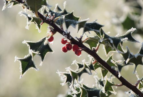 Frosty holly, Steeple Claydon, Bucks