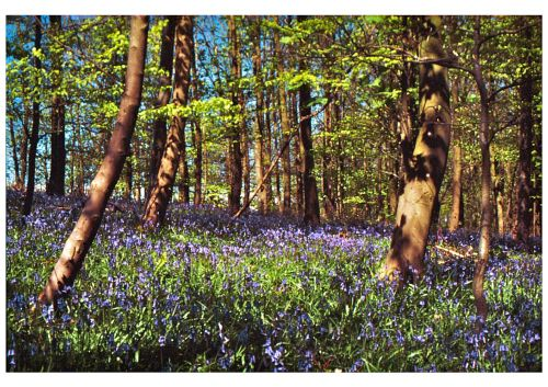 Bluebell Woods, Capernwray, Lancs