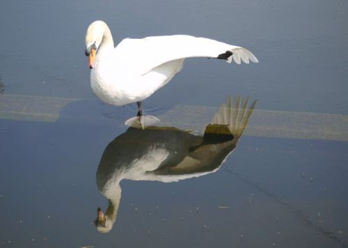 Reflection of a Swan at Spike Island, near Widnes