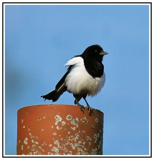 Magpie On A Chimney