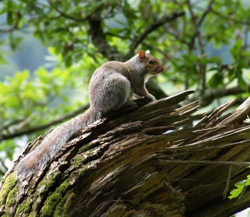 Ambleside Squirrel