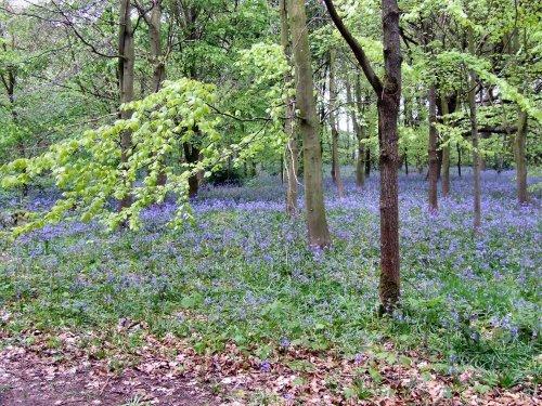 Bluebell wood, Speke Hall