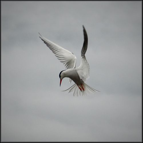 Common Tern hovering.... Aldreth