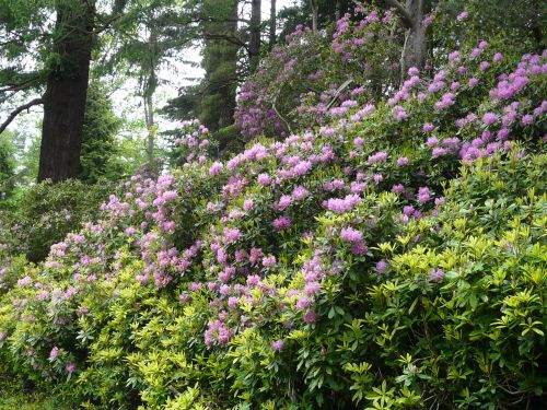 Rhododendrons on the estate drive