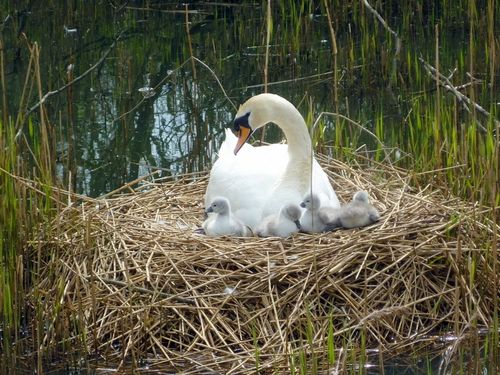 Swan and her cygnets on their nest at Hardwick Hall Country Park, Sedgefield
