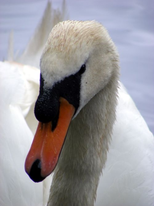 Mute Swan at Valentines Park, Ilford