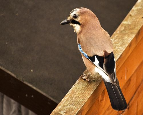 Jay in my back yard