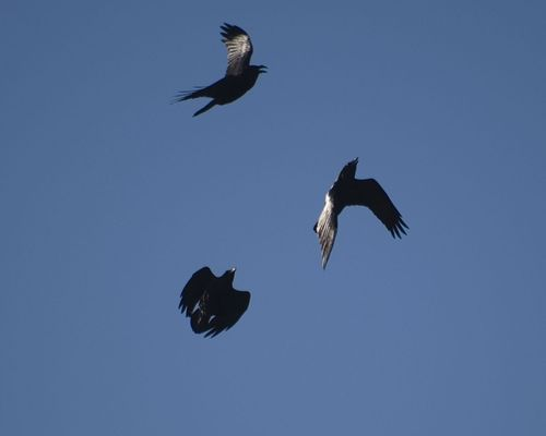 Ravens over Rodborough Common, Gloucestershire.