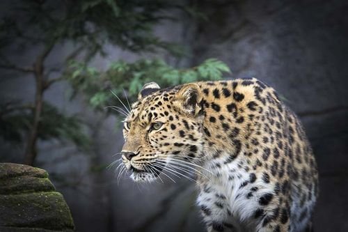 Colchester zoo,Leopard
