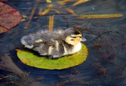 Duckling on a lilypad, Penshurst Place